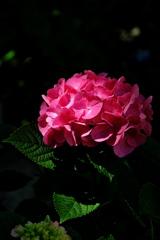 あじさい神苑の紫陽花(アジサイ)1