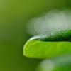 雨上がりの扉(トベラ)の葉2