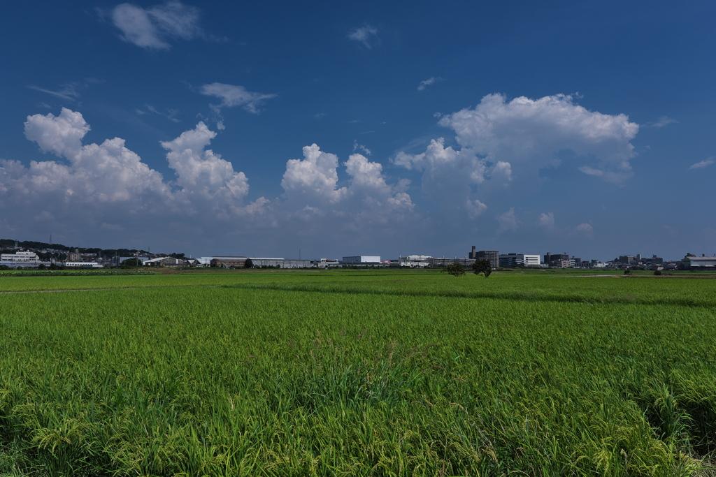 稲穂が広がる夏空の田圃