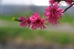 春の川沿いに咲く菊桃(キクモモ)1