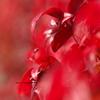於多福南天(オタフクナンテン)の紅葉