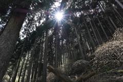 三叉(ミツマタ)の森1