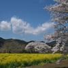 大江の桜並木と菜の花畑2