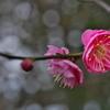 神社の紅梅が開花