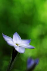 春爛漫5(花韮)