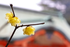 住吉神社に咲いた蝋梅(ロウバイ)