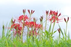 畔に咲く彼岸花(ヒガンバナ)