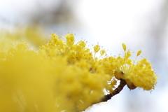 春本番、公園の山茱萸(サンシュユ)が咲いた
