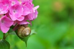 紫陽花(アジサイ)に蝸牛(カタツムリ)2