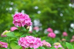 紫陽花(アジサイ)に蝸牛(カタツムリ)3