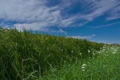 畔に咲く野草花(セリ)