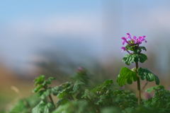 田圃畔に咲く仏の座(ホトケノザ)