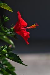 街角に咲く仏桑花(ブッソウゲ)