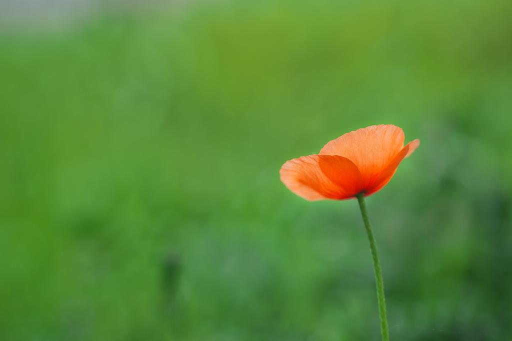 道端に咲く野草花(ナガミヒナゲシ)