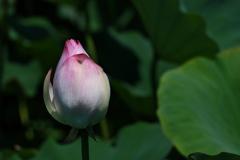 溜池に咲く蓮(ハス)1(紅花)