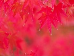 紅葉(もみじ)の紅葉(こうよう)3