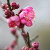 公園の紅梅(コウバイ)が咲いた