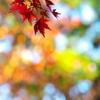 紅葉(モミジ)の紅葉1