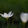 畦に咲く玉簾(タマスダレ)