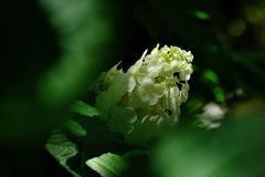 あじさい神苑の紫陽花(アジサイ)3