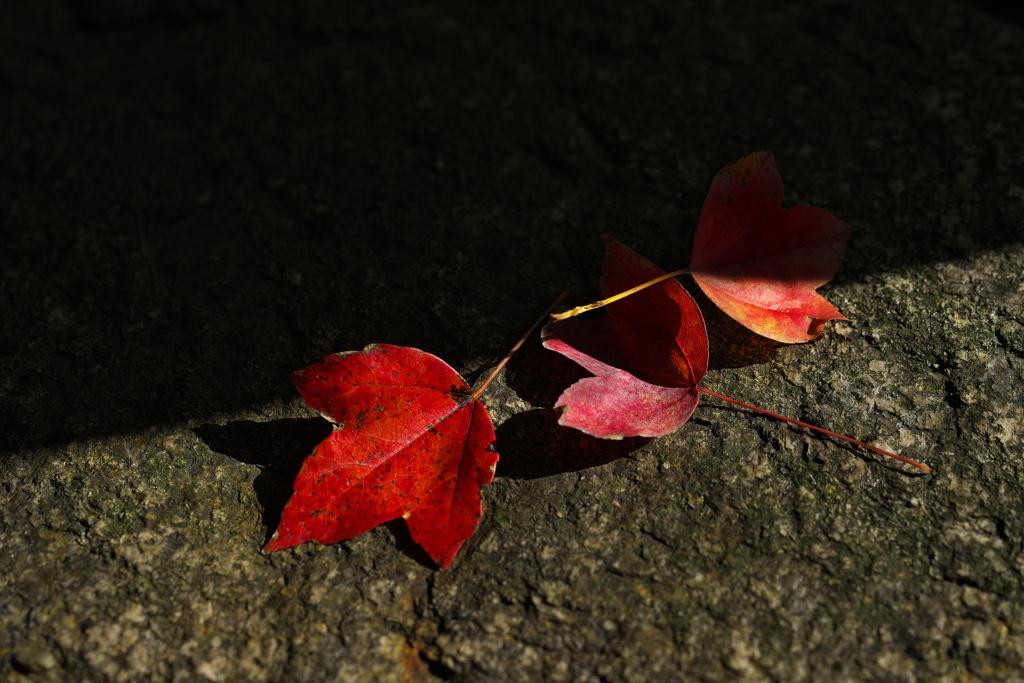 唐楓(トウカエデ)の落ち葉6(庭石)