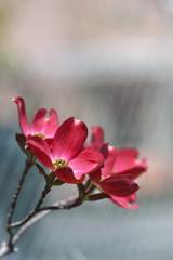 春の街角に咲く花水木(ハナミズキ)2