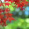 若葉が赤い紅葉(モミジ)3