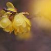 神社の蝋梅(ロウバイ)が咲いた3