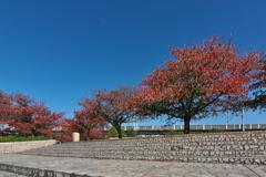 親水公園の染井吉野(そめいよしの)1
