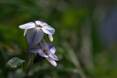 川沿いの土手に咲く花韮(ハナニラ)