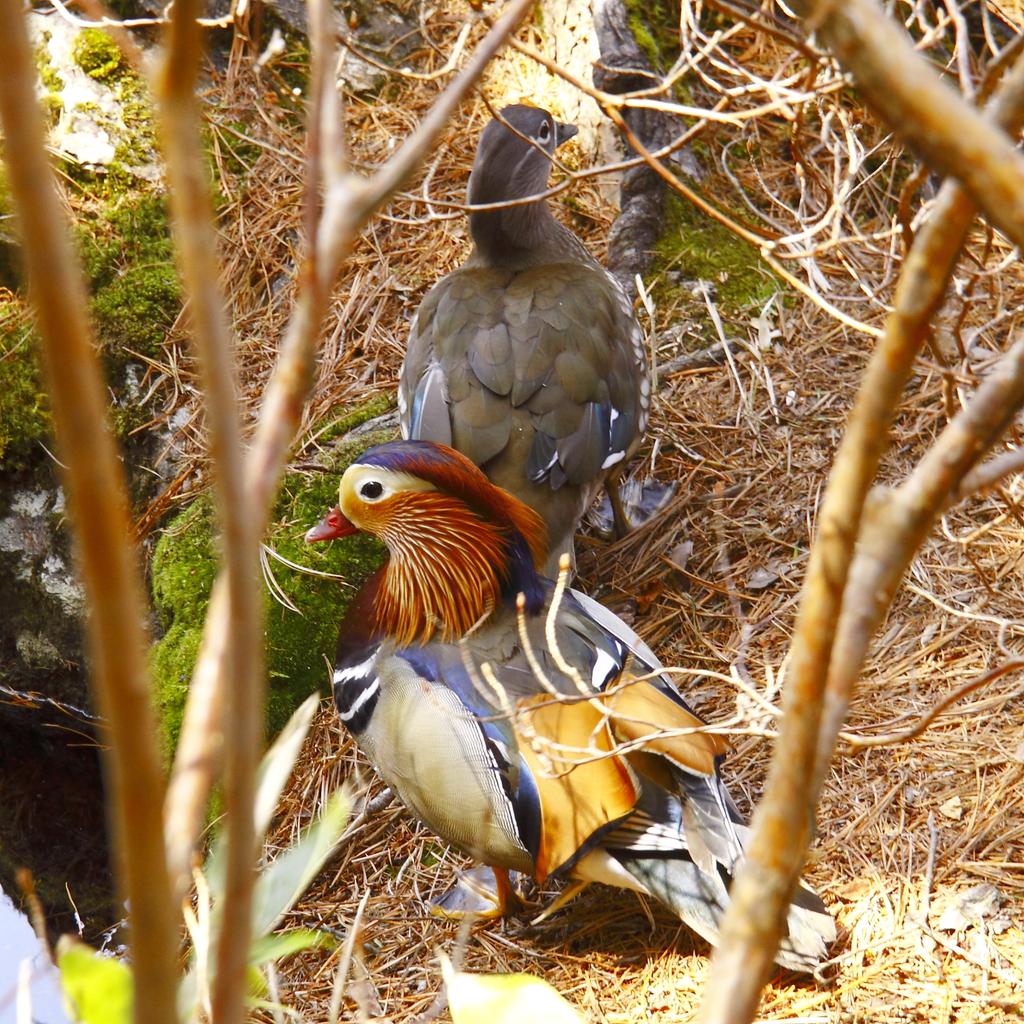 巣に向かう鴛鴦の夫婦。