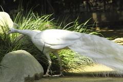 自慢の純白の長い羽根