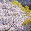 2020 桜 11