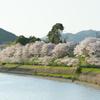 桜 DSC02832