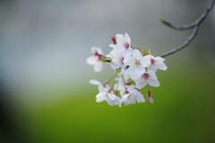 桜 DSC02399