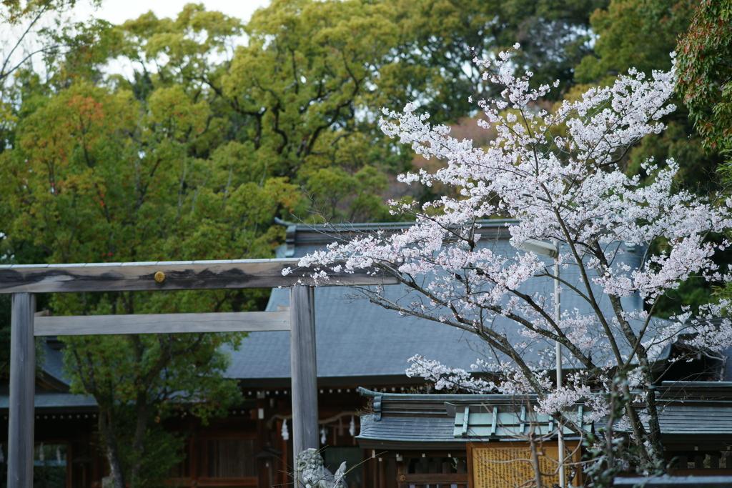 桜 DSC02409