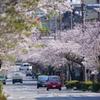 2020 桜 13