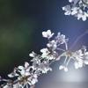 桜 DSC02701