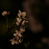 桜 DSC02617