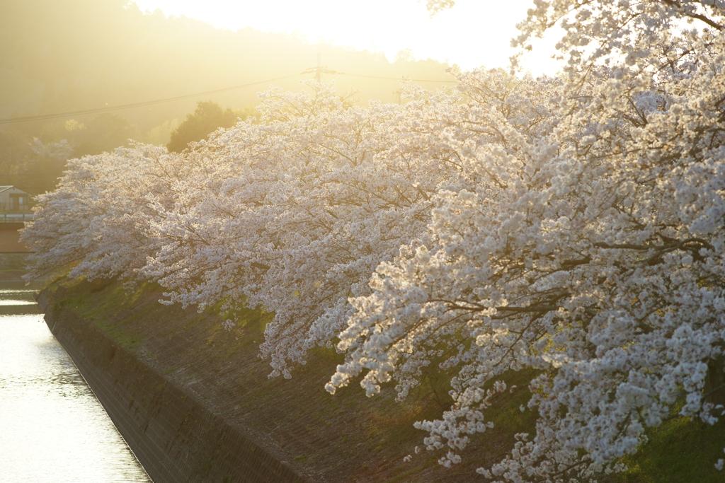 桜 DSC02848