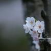 桜 DSC02425