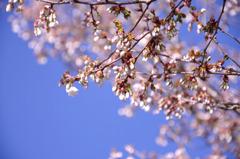 桜なのかなぁ