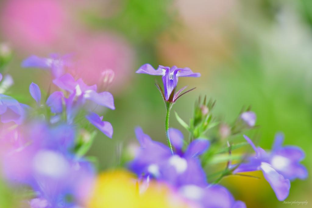 ロべリア ブルー