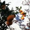 よその お庭の果樹