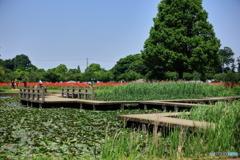 あけぼの山散策〈ハス池〉