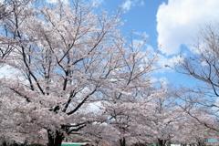 牛久シャトーの桜 Ⅲ