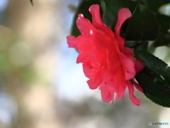 我家の庭~山茶花~