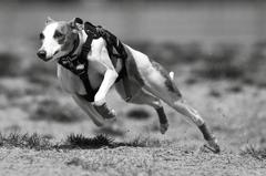 B&W 愛犬つばめの走り_3