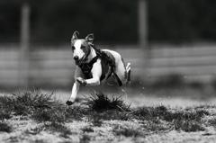 B&W 愛犬つばめの走り_4