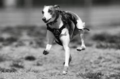 B&W 愛犬つばめの走り_2